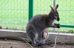 thumb_kangurek.jpg